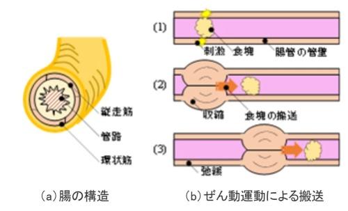 腸のぜん動運動のイメージ
