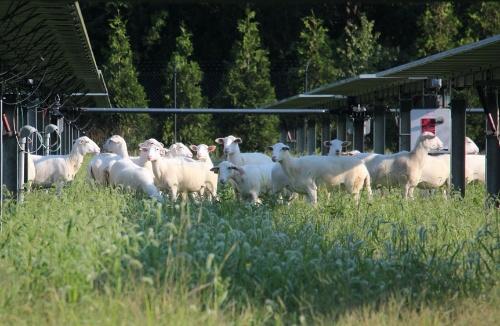 図1●メガソーラーで放牧される羊