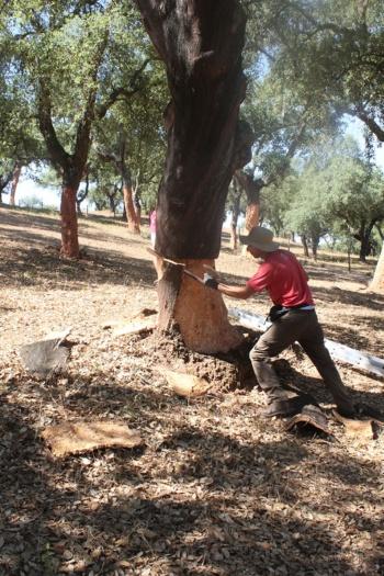 ポルトガルでのコルク採取。コルクガシから樹皮のコルク層をはぎ取る様子(写真:Andrew Laurence)