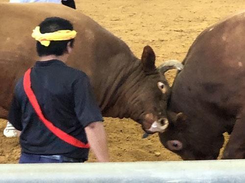 巨大な牛と牛がぶつかりあう沖縄式の闘牛。すごい迫力です。