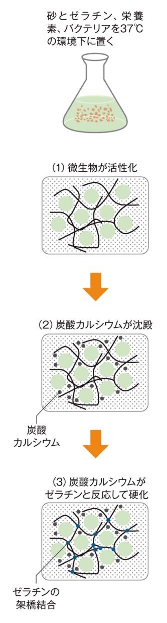 シアノバクテリアによる光合成で砂粒子が固まる原理を示す。砂とゼラチンを主体とする混合物の中で増殖したシアノバクテリアは炭酸カルシウムを生成。砂粒子同士をつなげるゼラチンが炭酸カルシウムと反応して硬くなり、乾燥すると人が乗っても壊れないほどの強度を発揮する。シュルーバー博士らの論文を基に日経クロステックが作成