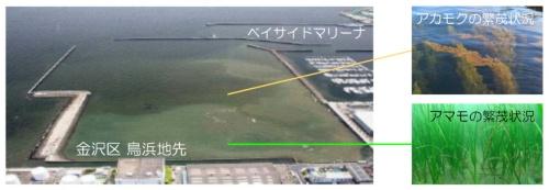 横浜市金沢区鳥浜地先における藻場(資料:国土交通省)