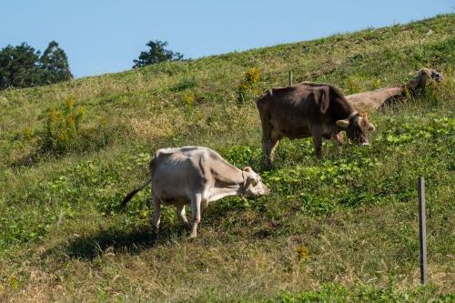 放牧中のブラウンスイス種の乳牛(写真:新川博己)