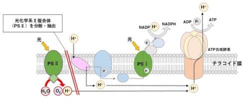 光合成の過程の一部を示した図。光合成燃料電池では光化学系Ⅱ複合体(PSⅡ)を分断・抽出(資料:摂南大学の資料を基に日経アーキテクチュアが作成)