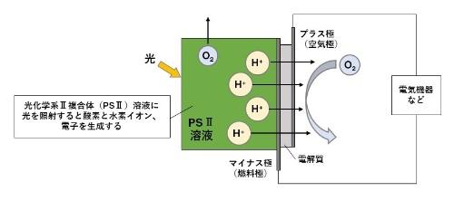 光合成燃料電池のメカニズム。水を分解して発生する水素イオンを燃料として発電する(資料:摂南大学の資料を基に日経アーキテクチュアが作成)