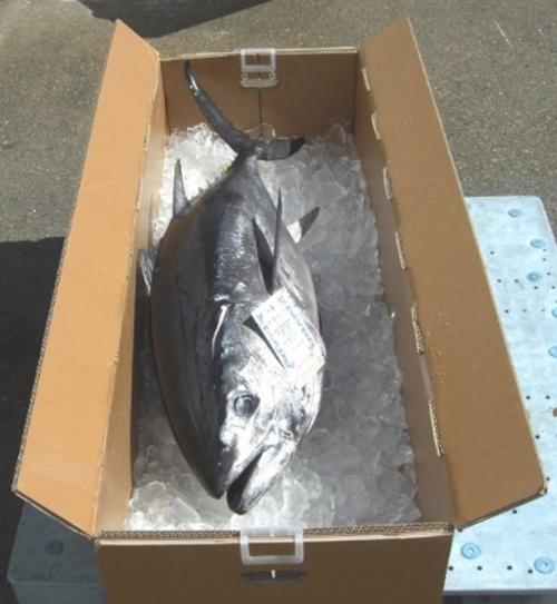 ハイプルエースはマグロの輸送用の梱包箱に使われている(写真:清水建設)