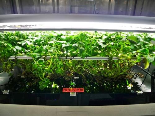 図1 完全閉鎖型・完全水耕型人工栽培システムで栽培中のジャガイモ