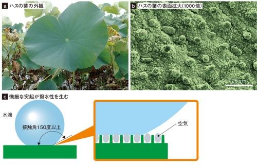 図1 撥水性があるハスの葉表面の微細構造