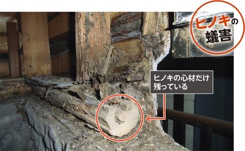 〔写真1〕柔らかい辺材部分がシロアリの餌食に
