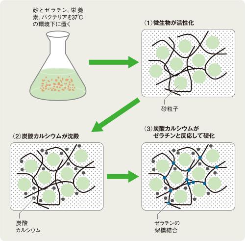 〔図1〕光合成で炭酸カルシウムを生成