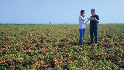 ポルトガルの加工用トマト農場