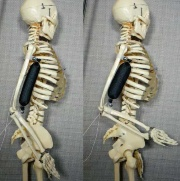 (d)(c)を用いたMcKibben型人工筋肉を人体骨格の腕に取り付けて動作させた例