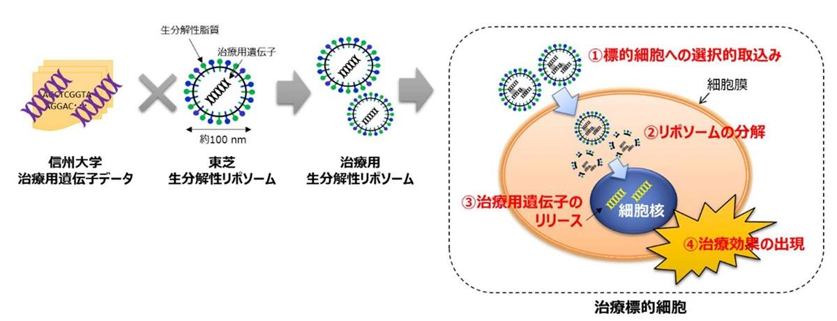 共同研究で目指す遺伝子治療用生分解性リポソーム技術 (図:東芝)