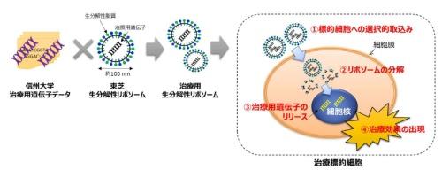 共同研究で目指す遺伝子治療用生分解性リポソーム技術
