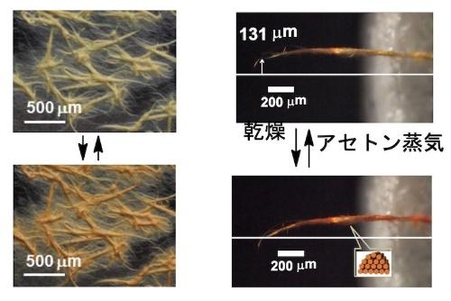 図3:アセトン蒸気による変色(左)と変形(右)(出所:東京都立大学・北里研究所・横浜国立大学・名古屋市立大学)