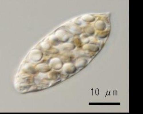 図2:パラミロンを多く含んだ状態のユーグレナ